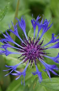 Cornflower, an explosion of blue in early summer