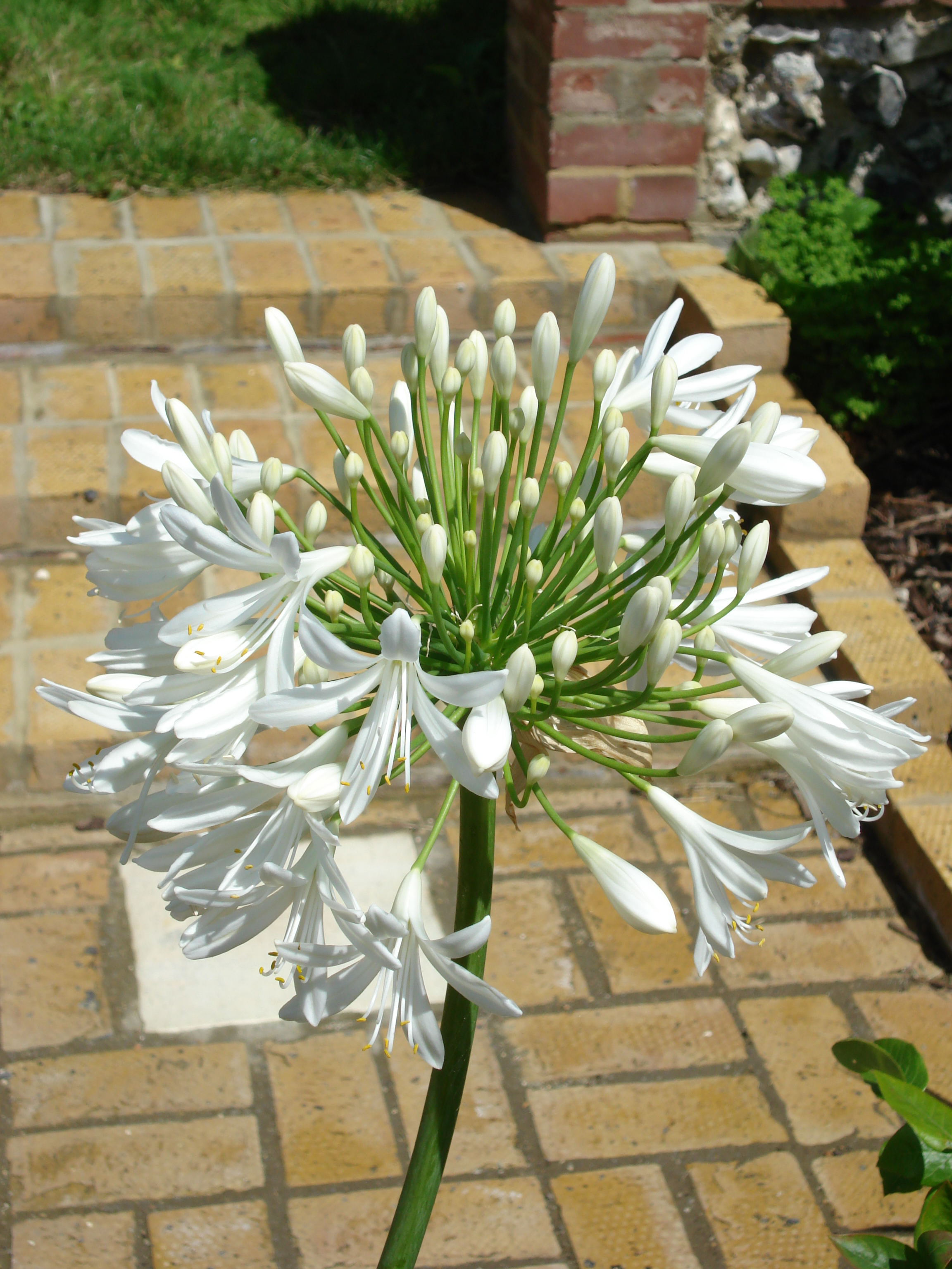 White agapanthus for summer colour, another of the show-stopper perennials