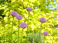 Alliums and gold Philadelphus