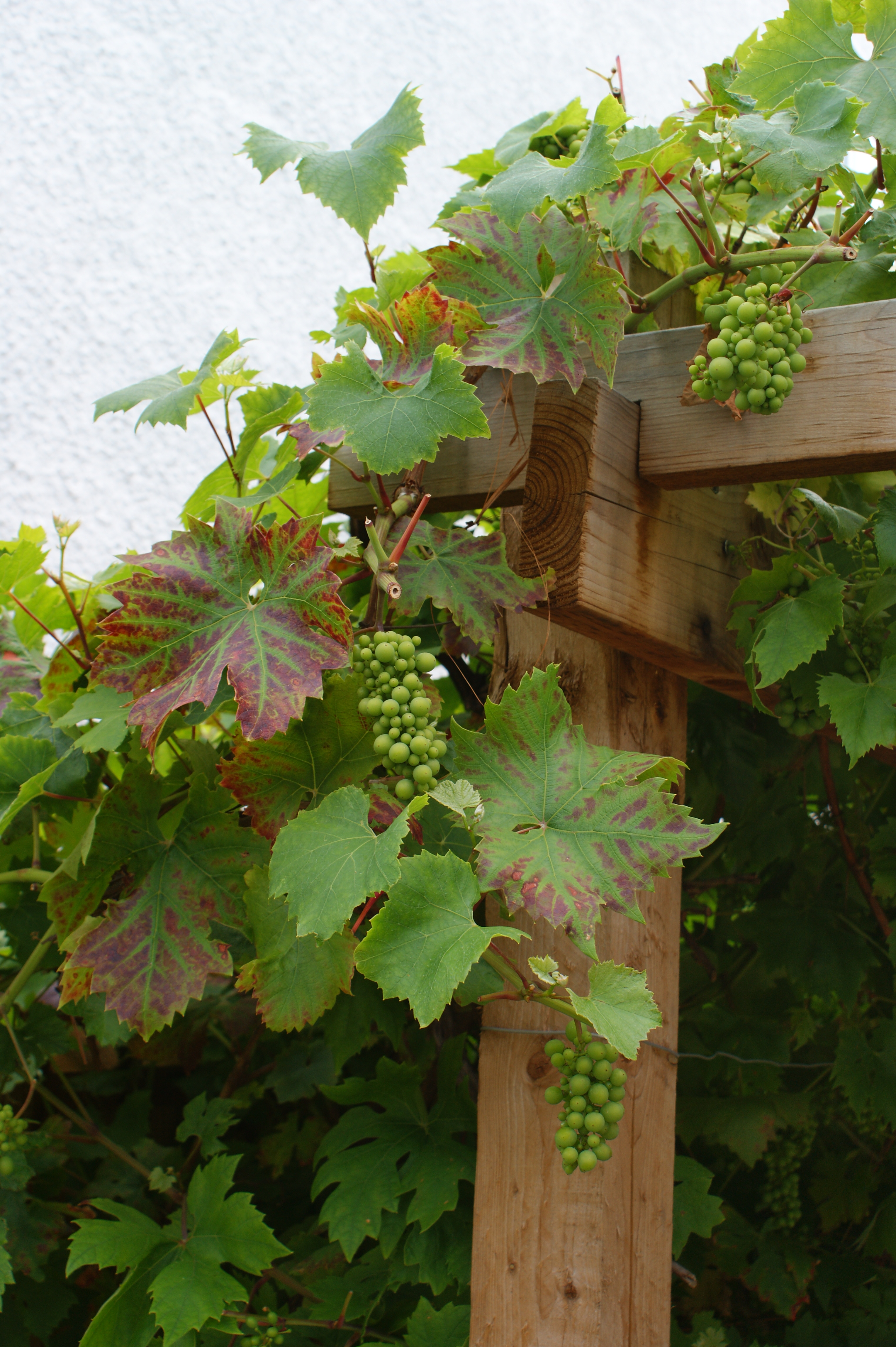 Grape vine on a pergola